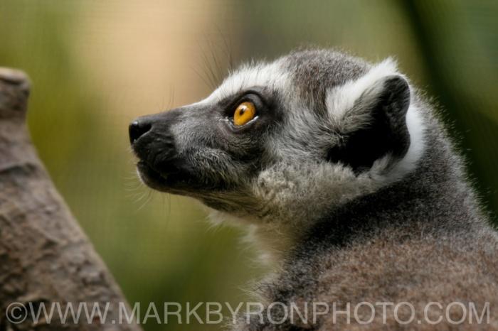 Lemur Closeup